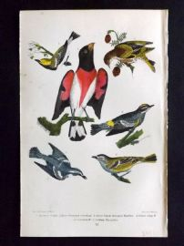 Alexander Wilson 1877 Bird Print. American Siskin, Rose Breasted Grosbeak